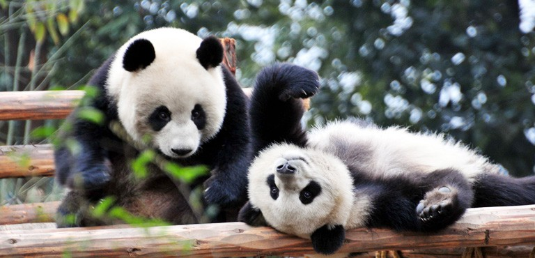 Giant Pandas are Coming to the Calgary Zoo in May