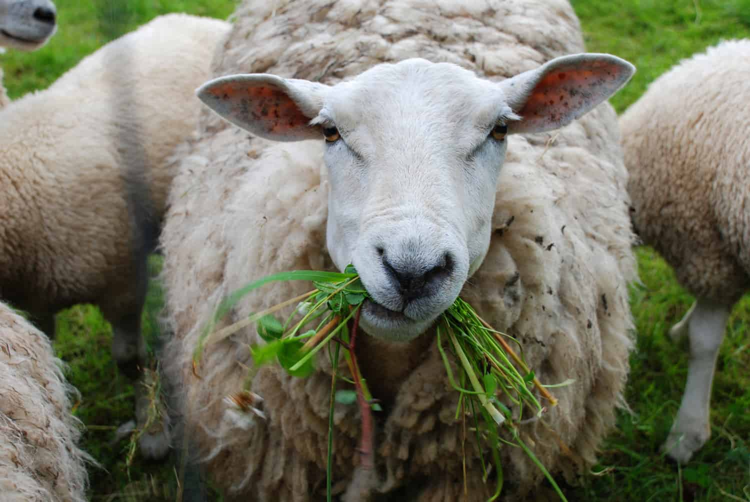 You can Visit with Sheep this Summer in Fort Saskatchewan