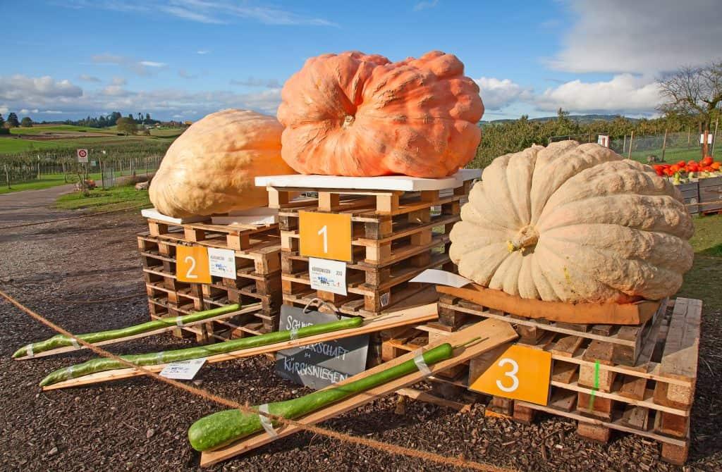 Fall Day Trip: Smoky Lake Giant Pumpkin Festival