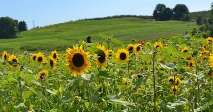 This Summer, You Can Visit this Sunflower Maze outside of Edmonton